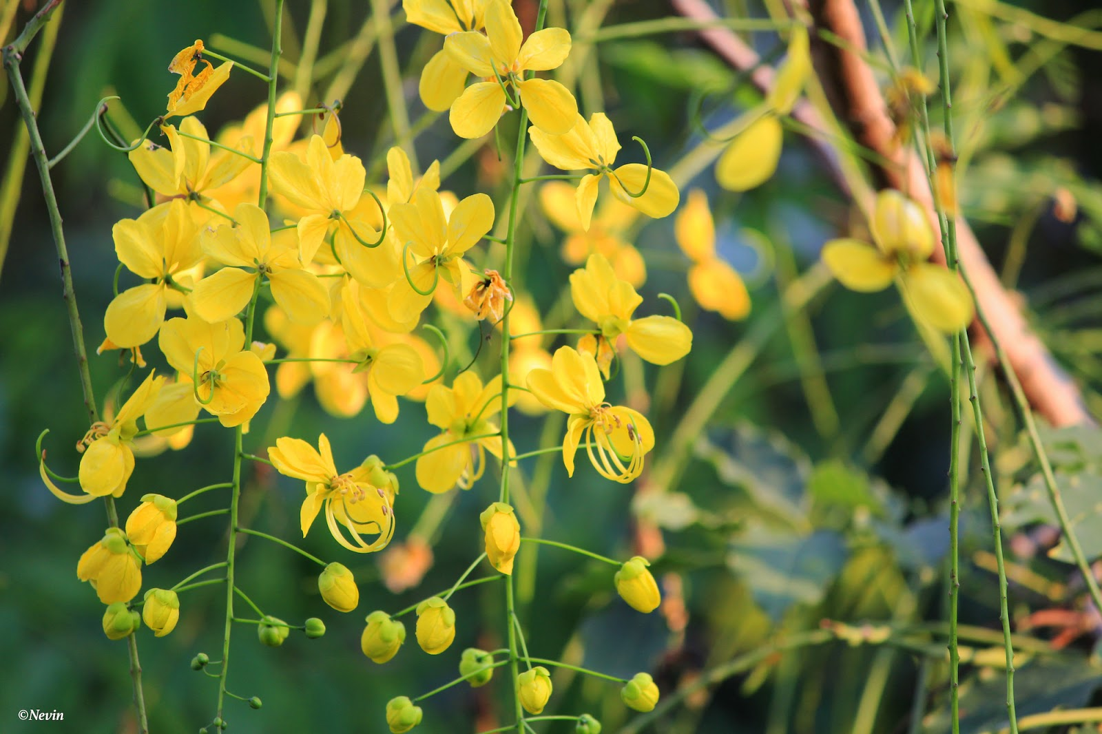 Beautiful Flowers Of The Golden Shower Tree Through The Lens