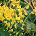 Beautiful flowers of the Golden Shower Tree