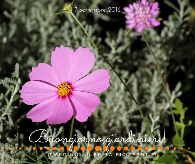 cosmea (cosmos bipinnatus) - il giardino dalla A alla Z -  i fiori della settimana - un giardino in diretta