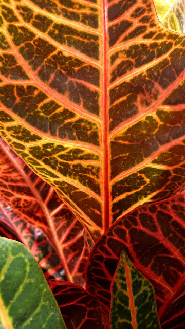 Kroton, Codieaum variegatum