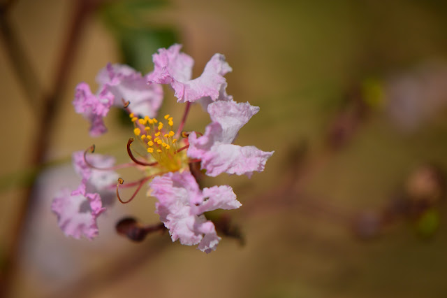 "Lagerstroemia indica ""Rhapsody in Pink"", crape myrtle, crepe myrtle, small sunny garden, desert, hot climate garden"