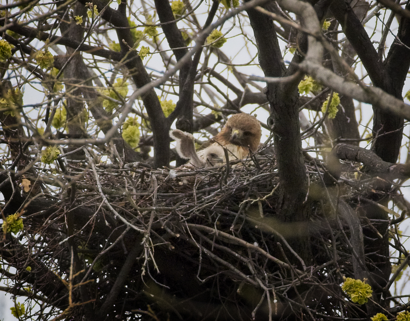 Red-tailed hawk Amelia and her chick in Tompkins Square