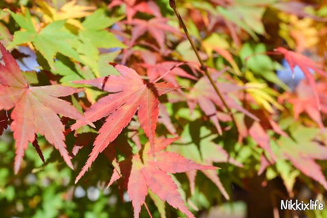 【日本。河口湖】紅葉回廊:觀賞紅葉和富士山的好地點! 4