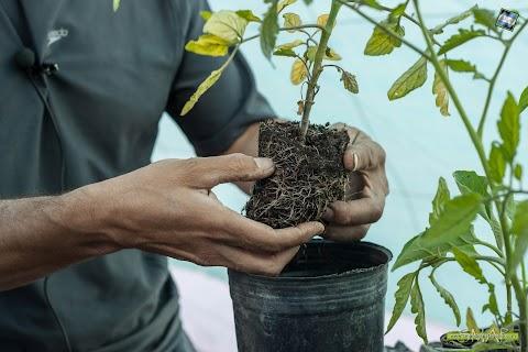 Jardines y Huertas: repique de plantines de hortalizas
