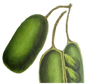 عشبة griffonia simplicifolia