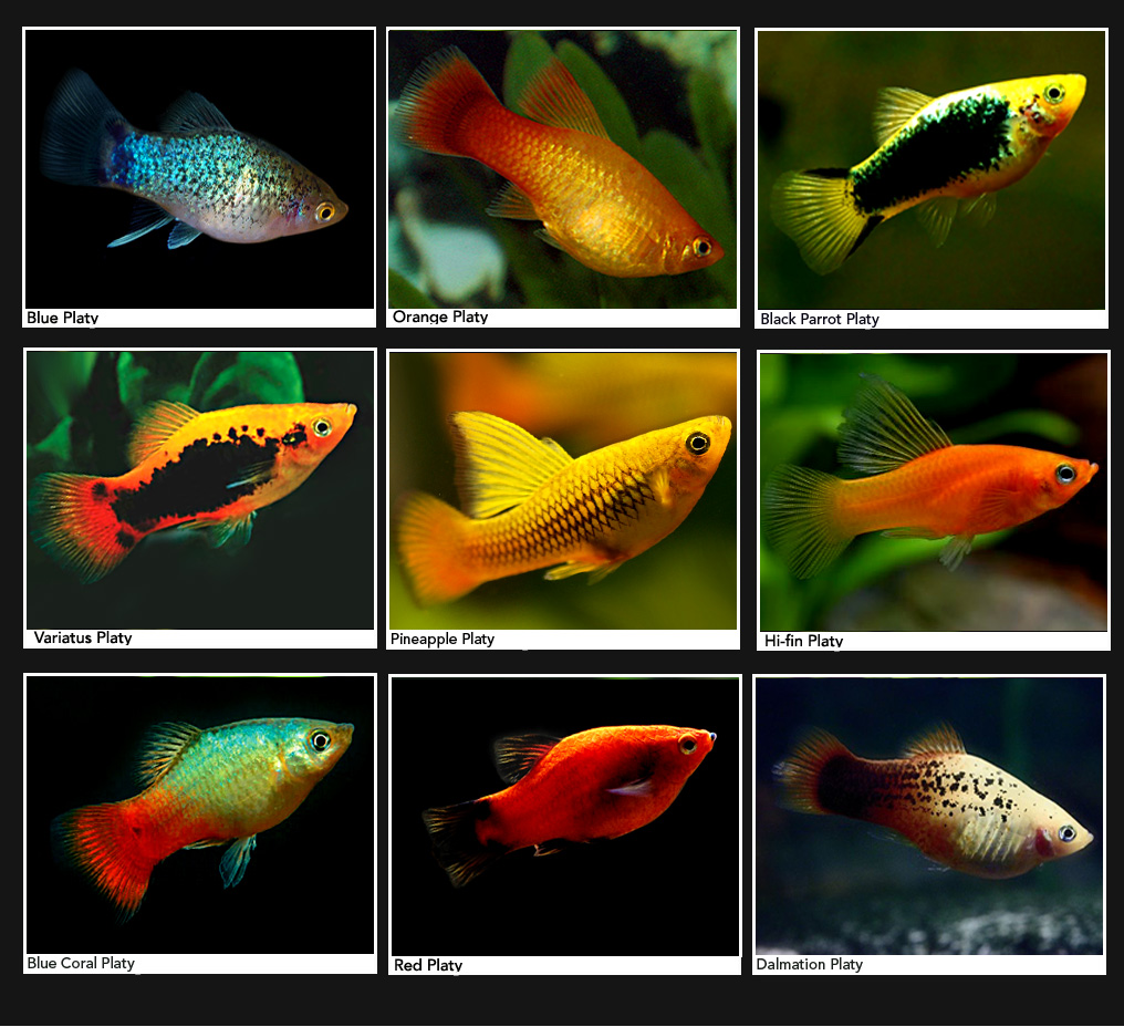 Peluang Usaha dan Cara Budidaya Ikan Platy yang Menguntungkan