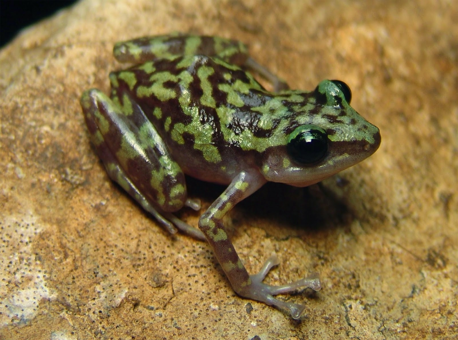 http://sciencythoughts.blogspot.co.uk/2015/04/robber-frogs-from-mountains-of-western.html