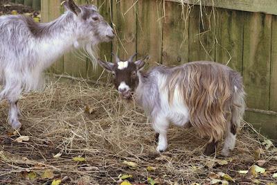 Where did pygmy goats originate