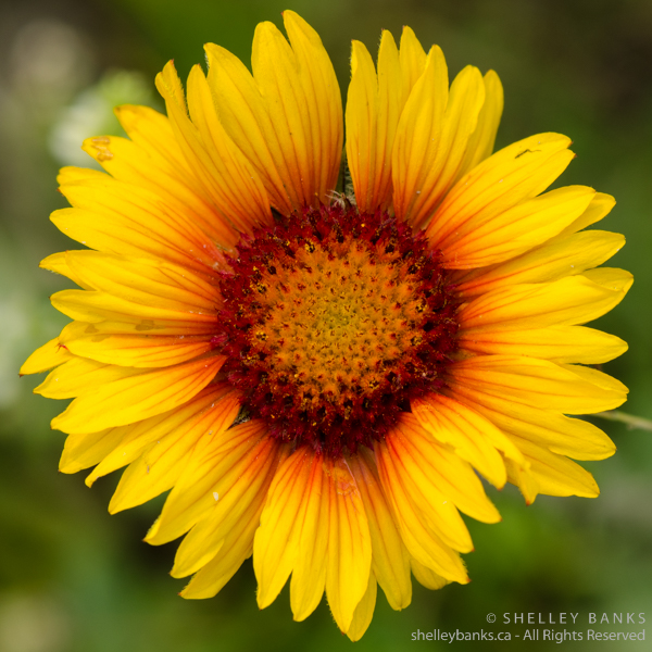 Gaillardia. Copyright © Shelley Banks, all rights reserved