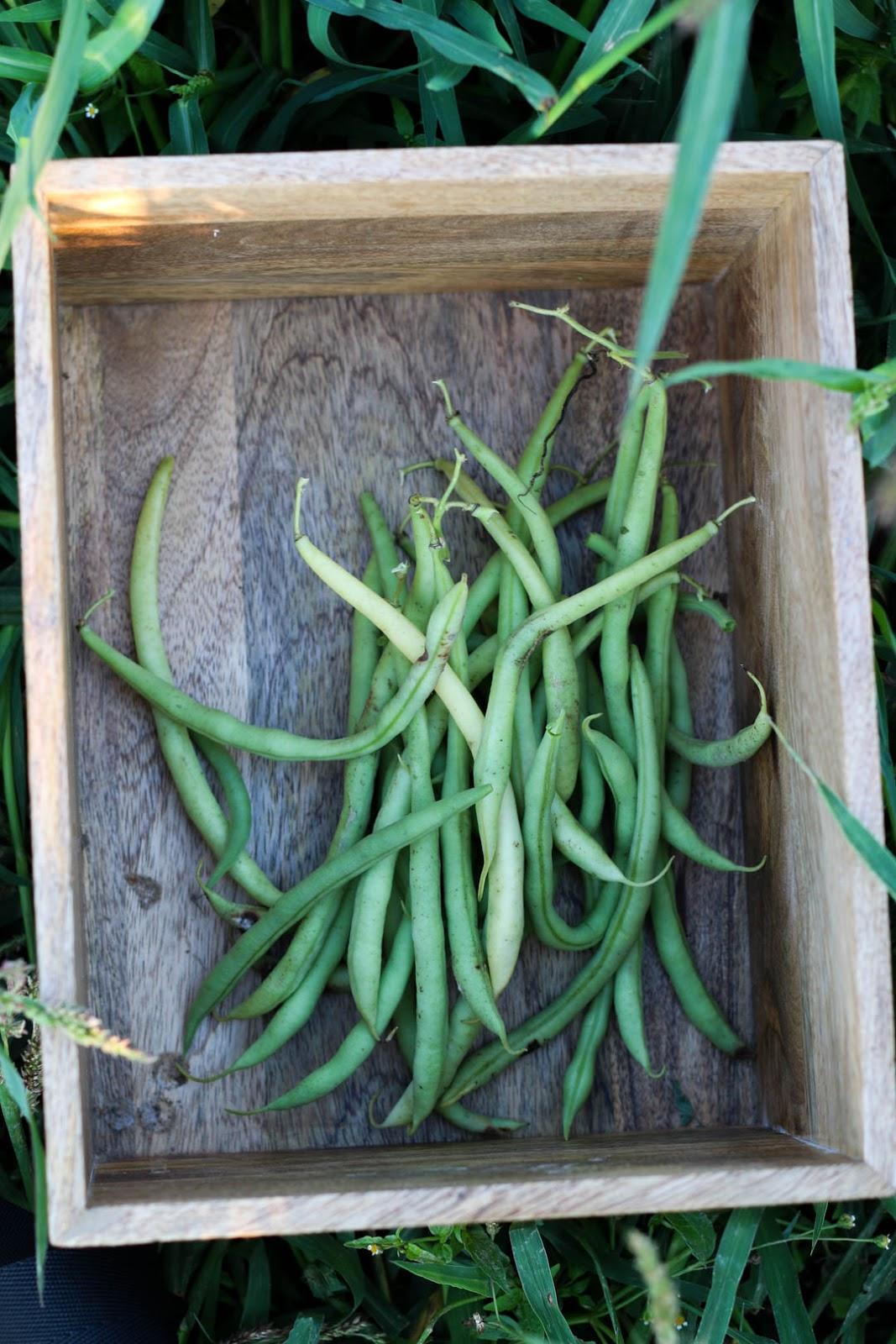 Ackermomente, Ernte, Stangenbohnen