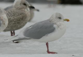 Kumlien's Iceland Gull with white wings St.John's, Newfoundland