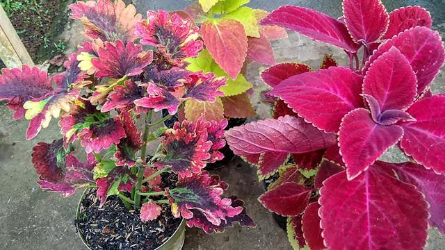 gambar bentuk daun miana merah