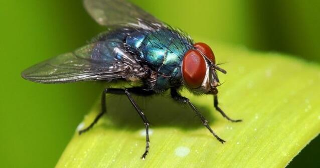 Uma mosca só vive 24 horas