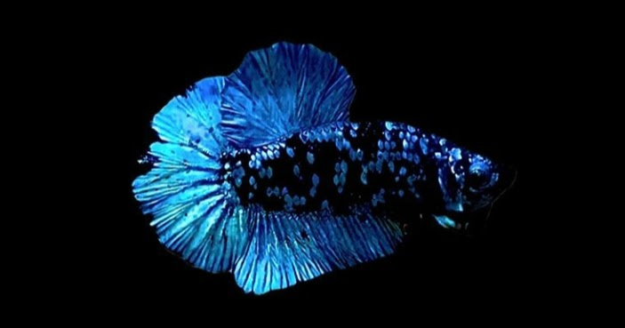 Proses Mutasi Dan Harga Ikan Cupang Avatar Cupang Sehat