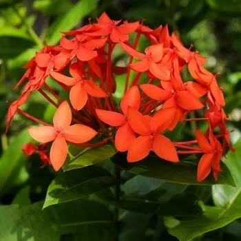रुग्मिनी, Ixora Coccinea flowers name in Marathi