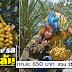 เที่ยว ชม ชิม ลิ้มรส อินทผลัม ผลสด กก.ละ 650 บาท  สวน 111 (ตองหนึ่ง) กาญจนบุรี