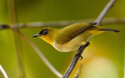 Mengenal Dekat Jenis Dari Burung Kacamata Sangihe Paling Lengkap