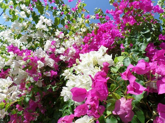 Gambar bunga bougenville