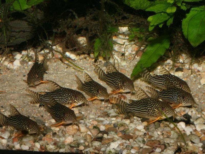 Gambar Ikan Hias Corydoras - Teman Ikan Guppy