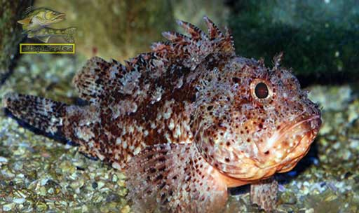 انواع الاسماك في البحر الأحمر _ سمك العقرب