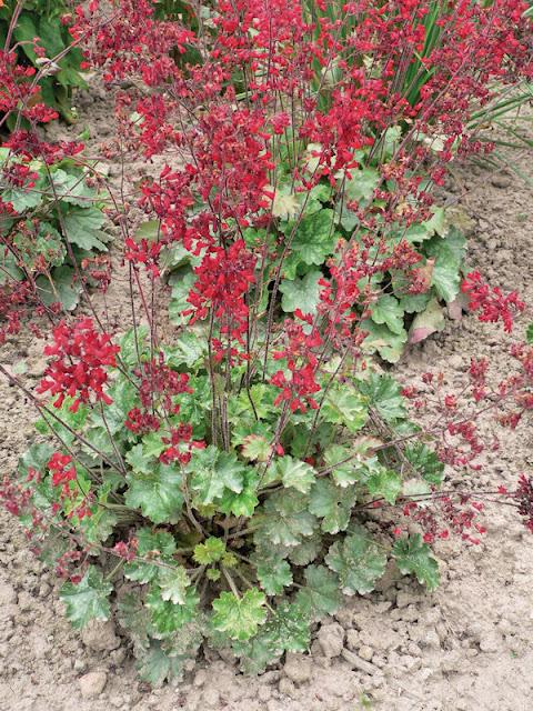 tanie byliny, ogród przydomowy