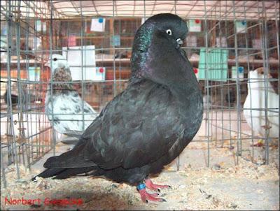 english pigeons - tumbler pigeons - clean legged
