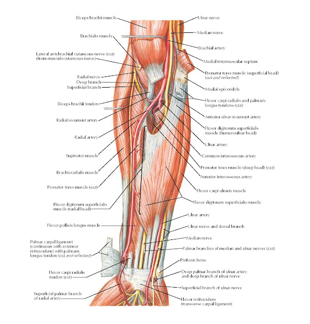 Muscles of Forearm (Intermediate Layer): Anterior View Anatomy
