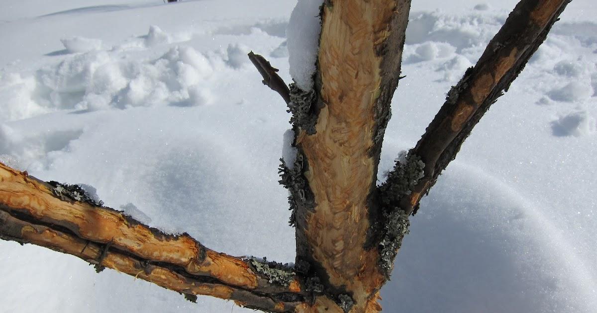 Jäniksen Syömä Omenapuu