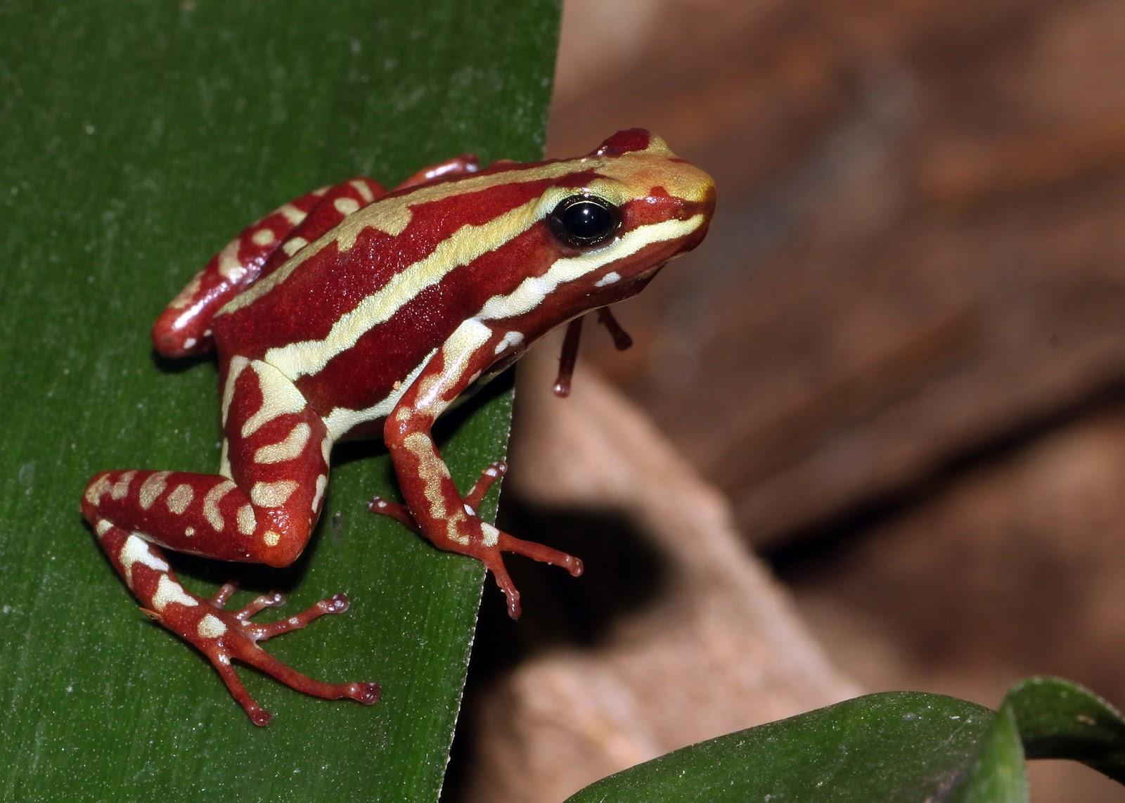 Amphibians: Epipedobates tricolor dreistreifen baumsteiger