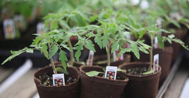 gambar penyemaian bibit tomat