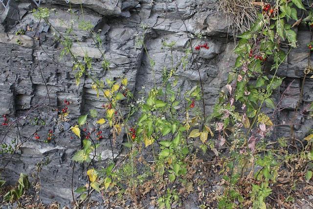 Dây Toàn - Solanum dulcamara - Nguyên liệu làm thuốc Chữa Tê Thấp và Đau Nhức