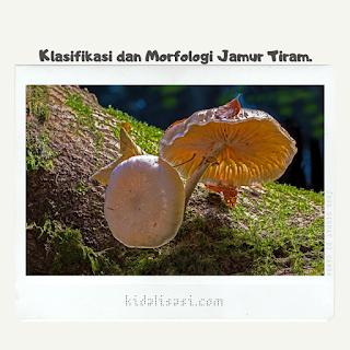 Klasifikasi Jamur Tiram dan Morfologi Jamur Tiram.