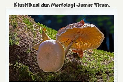 Klasifikasi Jamur Tiram dan Morfologi Jamur Tiram