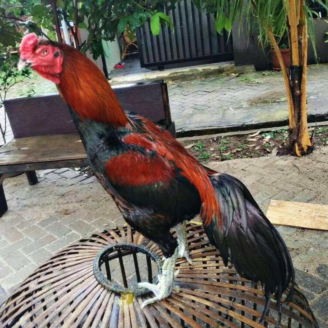 Bisnis Ternak Ayam Bangkok Aduan, Bisnis Yang Sangat ...
