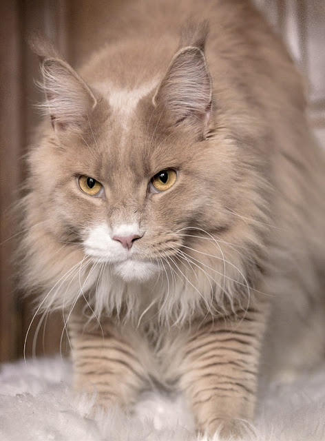 Cream and white Maine Coon living in Paris, France