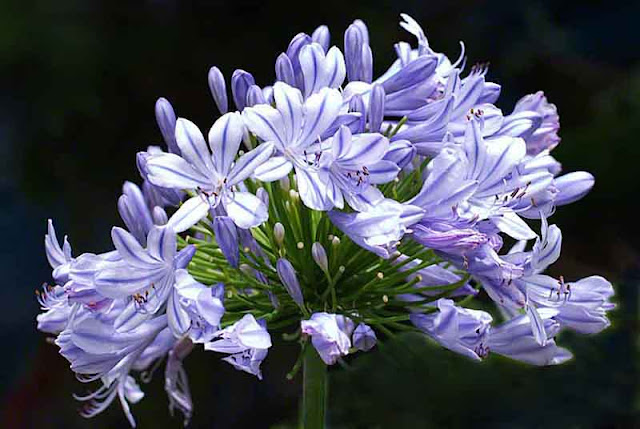 African Lily, flower, facts, aphrodisiac, Okinawa, library, garden