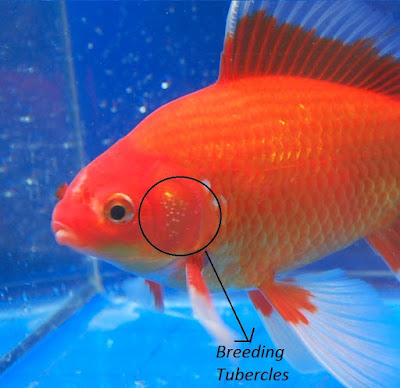 male and female goldfish