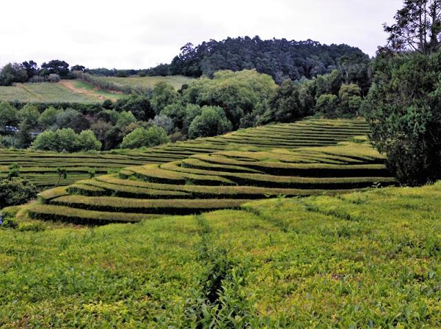 Campos de té de la plantación de Chá Gorreana en Azores