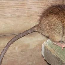 5 Buah Paling Ampuh Mengusir Tikus di Dalam Rumah