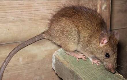 5 Buah Ini Terbukti Ampuh Mengusir Tikus di Dalam Rumah