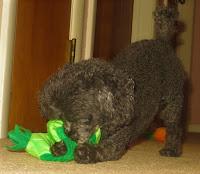Toy Poodle Birthday