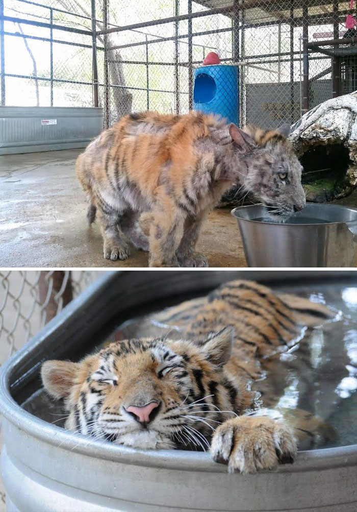 40 Times 2016 Restored Our Faith In Humanity - Sick Tiger Cub Weighting Only 1/4 Of Normal Weight, Gets Rescued From Circus, Makes Incredible Recovery