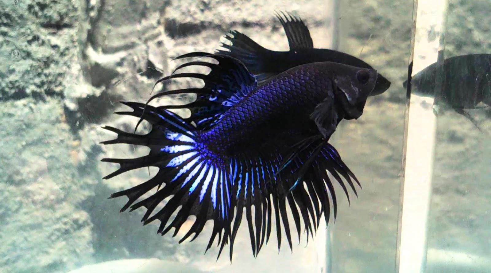 7 makanan ikan cupang 7 jenis ikan cupang 7 jenis makanan ikan cupang dunia binatang trans7 ikan cupang