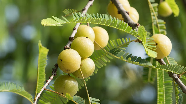 Indian Gooseberry (Amla) during pregnancy