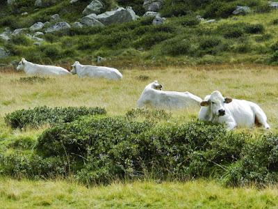 mucche val adamé