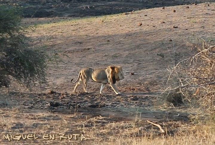 León en Nsemani Dam, Satara-Orpen Road