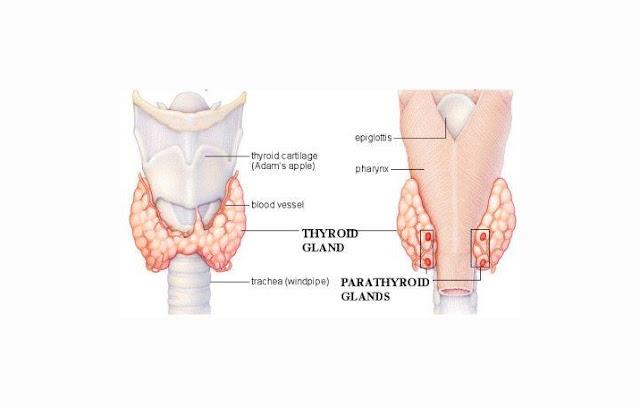 Kelenjar Paratiroid adalah kelenjar endokrin yang berfungsi untuk mensekresikan hormon pa Kelenjar Paratiroid : Pengertian, Struktur, Fungsi