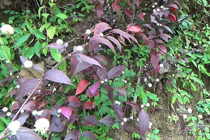 Dlium Ruby leaf (Alternanthera brasiliana)