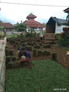Rumput taman hias rumput gajah mini di jember jawa timur tahun 2021