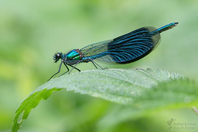 Calopteryx splendens - Banded Demoiselle ♂